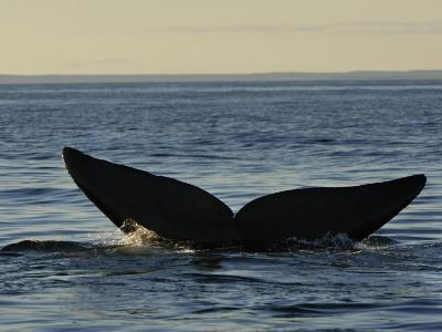 Flukes of a North Atlantic Right Whale in the Bay of Fundy