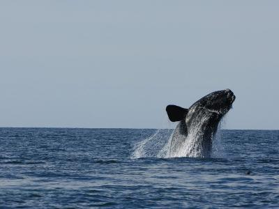North Atlantic Right Whale Breaching in the Bay of Fundy