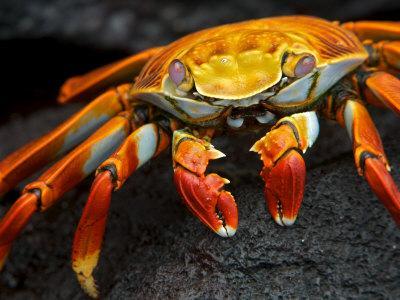 Sally Lightfoot Crab, Grapsus Grapsus, Foraging on Volcanic Rock
