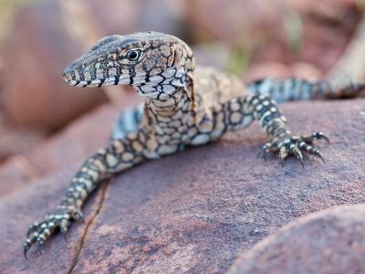 Perentie Monitor Lizard Basking on Rock in Outback Australia