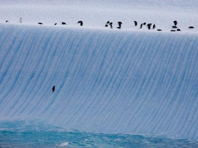 Chinstrap Penguins Climbing an Iceberg to Rest Atop It