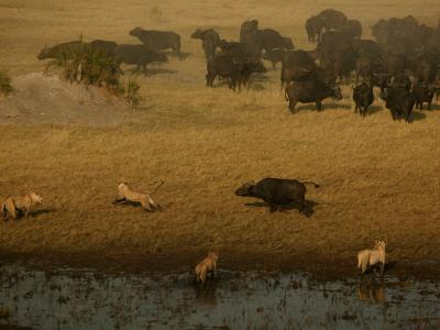 African Lions Hunting a Herd of African Buffalo