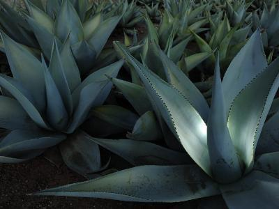 Maguey or Agave Plants