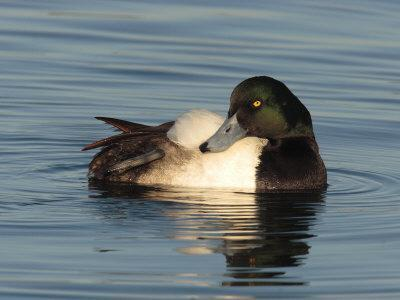Greater Scaup Duck, Aythya Marila, in Calm the Choptank Waters