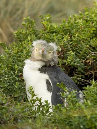 Yellow Eyed Penguin in it's Natural Nesting Grounds