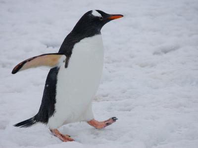 Portrait of a Gentoo Penguin Walking in an Icy Landscape