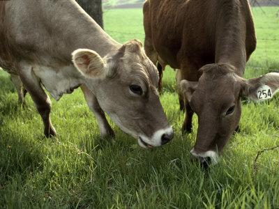 Two Brown Swiss Cows Graze on Fresh Grass at a Dairy Farm