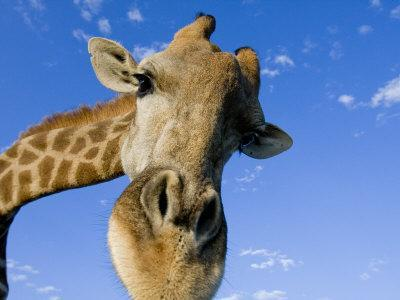 Captive Giraffe Portrait Looking into the Camera Against a Blue Sky