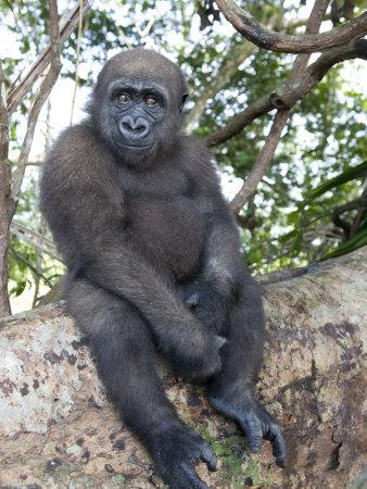 Young Gorilla Sitting on a Log