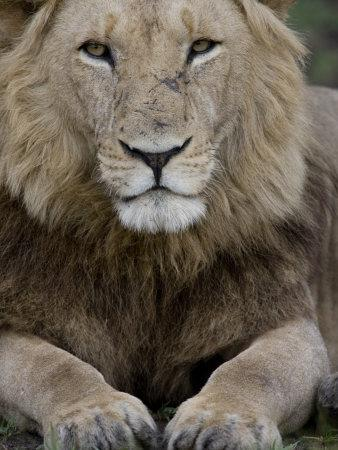 Portrait of a Scar Faced African Male Lion