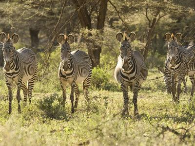 Four Zebras Stare at the Camera