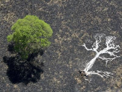 Ashes of a Burned Tree and a Live Standing One: Life and Death