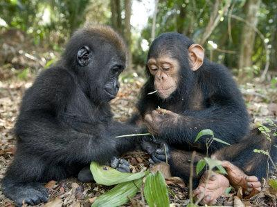 Baby Gorilla and a Chimpanzee Examining Leaves