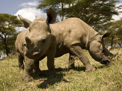 Black and White Rhinoceros Calves