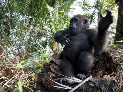 Young Gorilla in a Nest