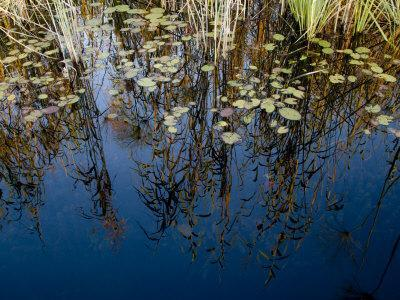 Reeds and Water Lily Pads and Reflections of the Sky