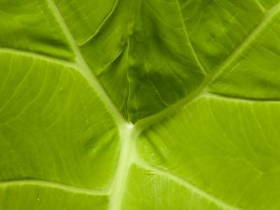 Close Up of a Green Leaf at Longwood Gardens