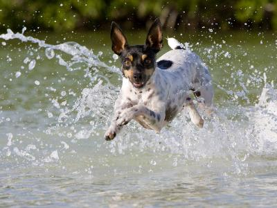 Active Rat Terrier Dog Jumping Out of the Water Looking at the Camera