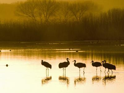 Sandhill Cranes at the Bosque Del Apache National Wildlife Refuge