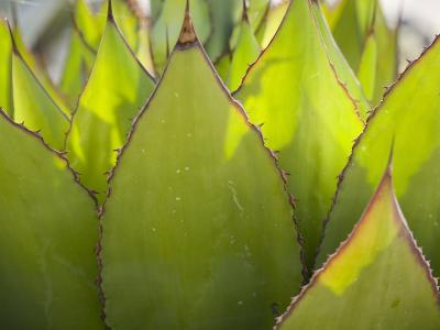 Agave Plant at the Arizona-Sonora Desert Museum