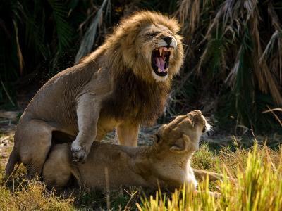 African Lions, Panthera Leo, Mating