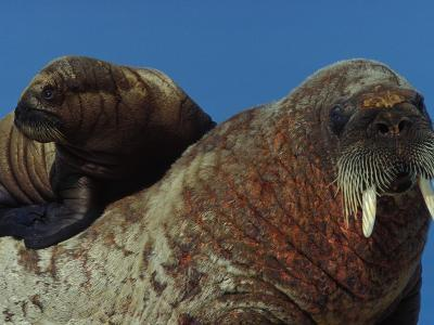 Atlantic Walrus Pup Seeking Safety from Polar Bears on Mother's Back