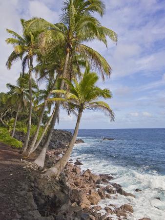 Tall Palm Trees Line the Volcanic Rock Coast of Hawaii
