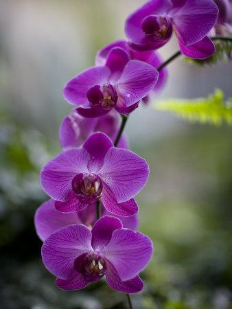 Purple Orchid at the Botanic Garden