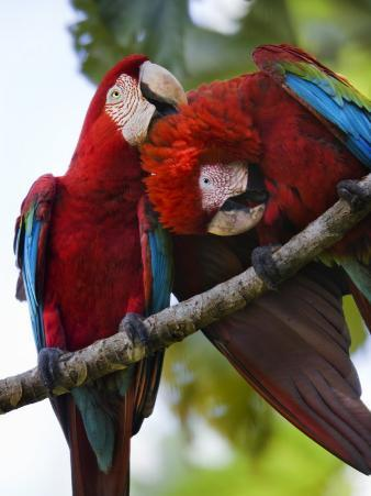 Pair of Scarlet Macaws Perched on a Tree Limb, Grooming