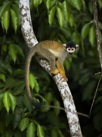 Squirrel Monkey Climbing on a Tree Branch