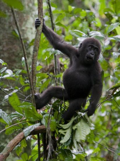 Juvenile Male Western Lowland Gorilla Shaking A Tree