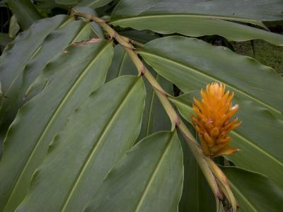 Spiral Ginger Plant in Bloom