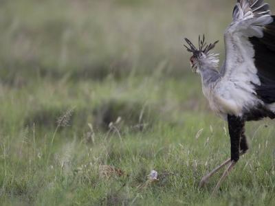 Secretary Bird Hunting a Puff Adder in the Grass