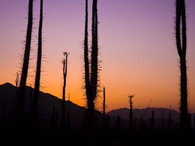 Boojum Trees, Cirio Columnaris, in a Desert Landscape at Sunset