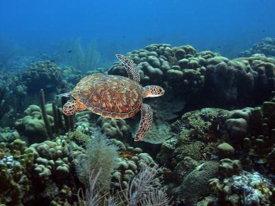 Endangerd Green Sea Turtle, Chelonia Mydas, Swimming in a Coral Reef