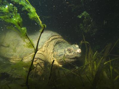 Common Snapping Turtle, Chelydra Serpentina, Foraging in Vernal Pool