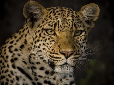 Profile Portrait of a Leopard