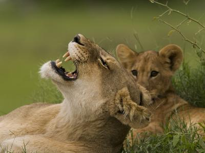 Lioness and a Cub Resting in the Shade