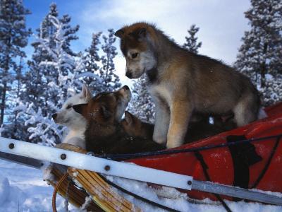 Siberian Husky Puppies Play on a Snow Sled