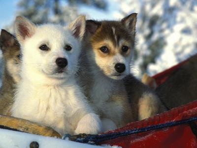 Close Up of Siberian Husky Puppies