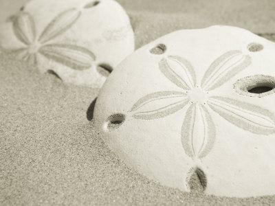 Two Sand Dollars Rest in the Sand of the Beach
