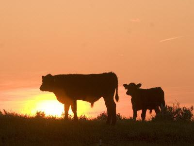 Two Cows Standing Silhouetted Against an Orange Sunset
