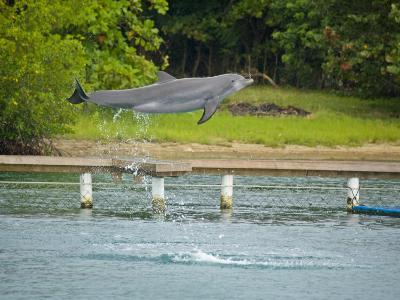 Bottlenose Dolphin Jumps at Anthony's Key Resort in Roatan