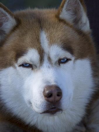Portrait of a Husky Dog in Alaska