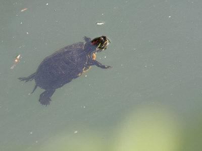 Red-Eared Slider Turtle Swimming in Water