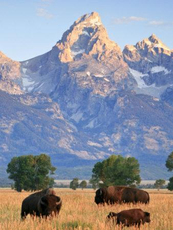 Group of Bison Pass Beneath the Grand Teton in Wyoming