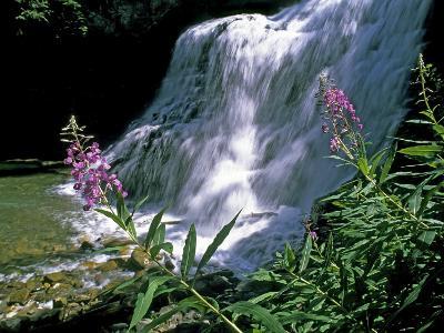 Fireweed and Ouzel Falls, Near Big Sky