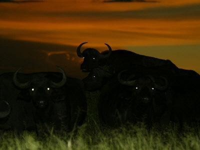 Herd of African Buffalo (Syncerus Caffer)At Night