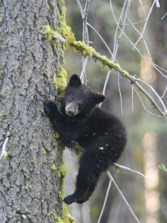 American Black Bear (Ursus Americanus), First Year Cub in a Tree