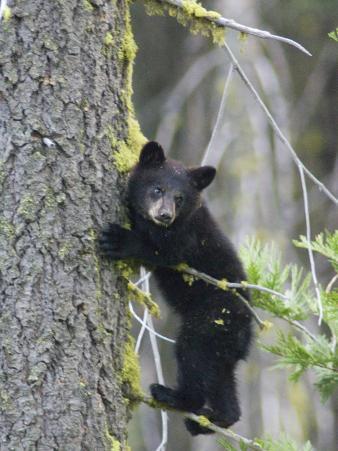 American Black Bear (Ursus Americanus), First Year Cub in a Tree